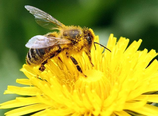 جای خالی زنبورهای عسل در باغات گیلان